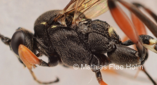 Dentilabus variegatus. Fundet som ny for landet i forbindelse med registrering for Kolding Kommune. Nagbøl Skov 2018
