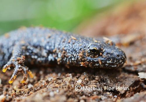 Stor Vandsalamander. Fruering 2012