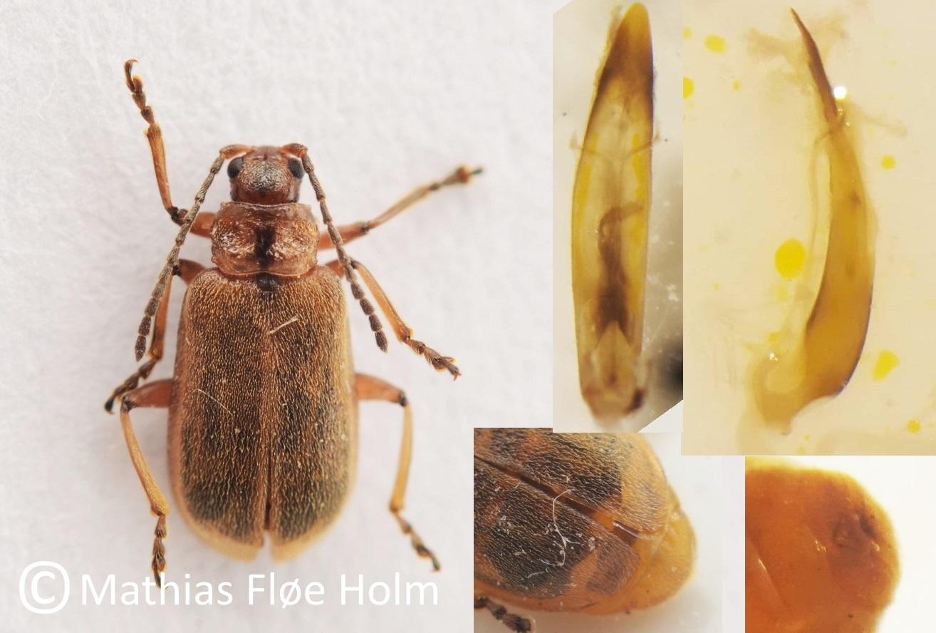 Galerucella grisescens. Fundet som ny for landet i forbindelse med registrering for Kolding Kommune 2018